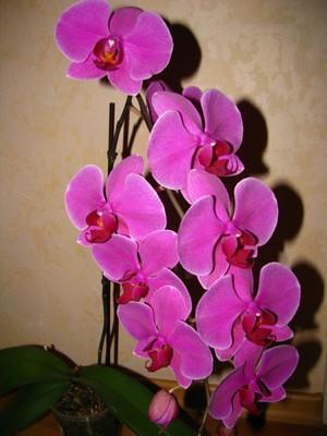 Цвете орхидея Phalaenopsis - снимка