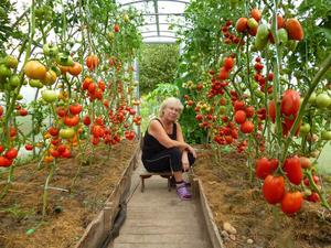 Доматите растат добре и дават плодове в оранжерия