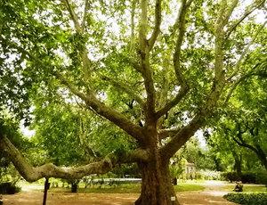 Ориенталският чинар е красиво дърво