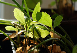 Явор на явор - първата година от живота на растенията