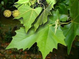 Как изглежда кленов лист чинар?