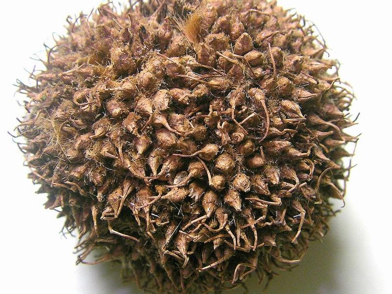Яворът от явор е плод, който узрява по-близо до есента