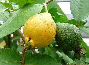 Гуаява - плодът на гуавата е показан на снимката