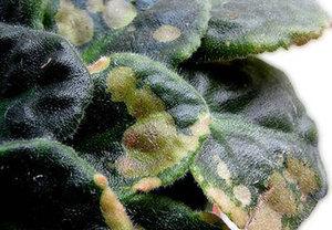 Как се пръска растение от вредители