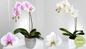 Домашните орхидеи рядко цъфтят, но са невероятно красиви