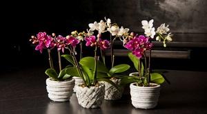 Грижи и размножаване на орхидеи Phalaenopsis у дома