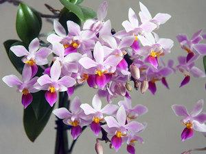 Орхидеята Phalaenopsis расте добре в апартамент