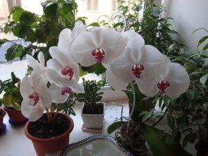 Домашните орхидеи ще ви радват няколко години