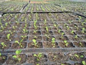 Отглеждане на петунии - каква трябва да е почвата