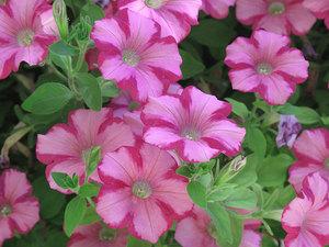 Градинската петуния в разцвет ще украси всяко цветно легло