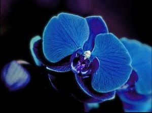 Синя орхидея у дома