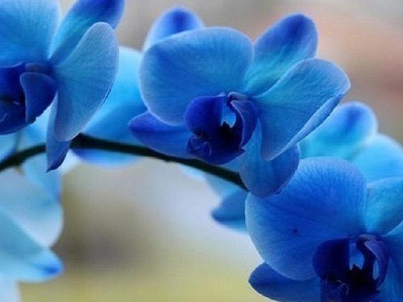 Синьо цвете орхидея