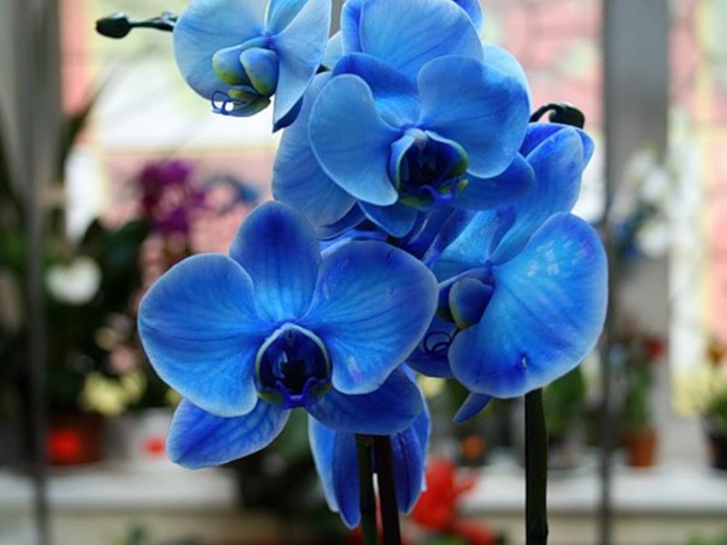 Домашна орхидея