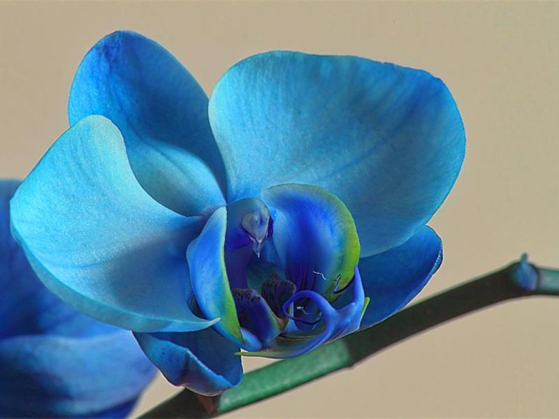 Грижа за синя орхидея и поливане