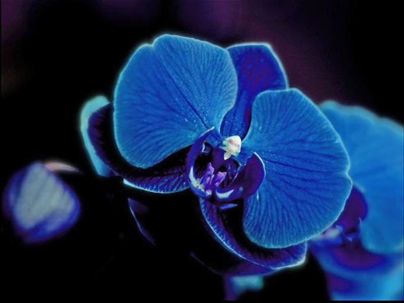 Цвете на орхидея