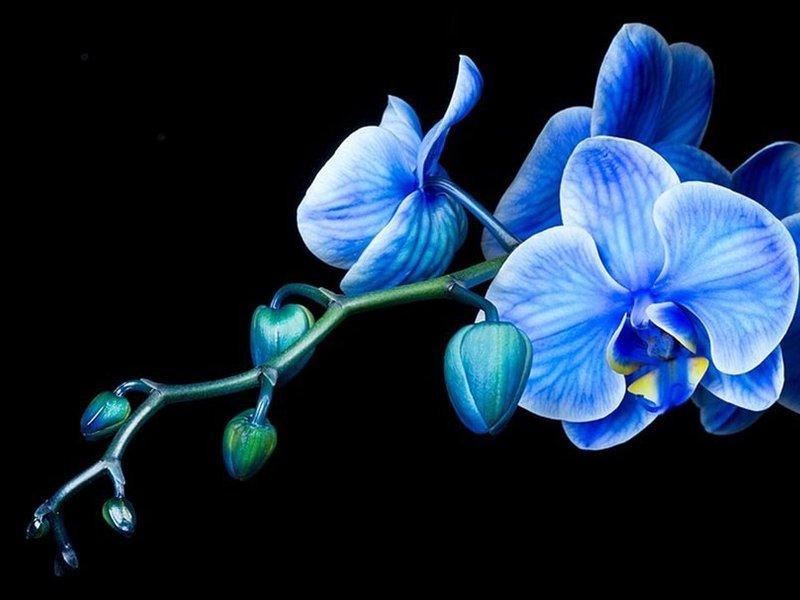 Орхидея от синьо цвете