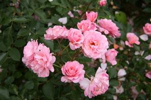 Сортове сортове рози
