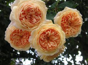 Отглеждане на градински рози