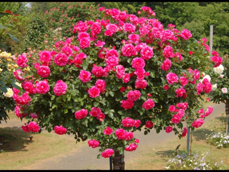 Как растат розите