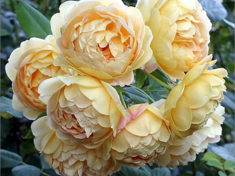 Име на сортовете рози