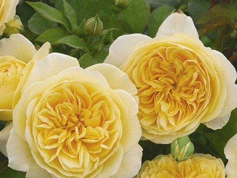 Примери за групи градински рози