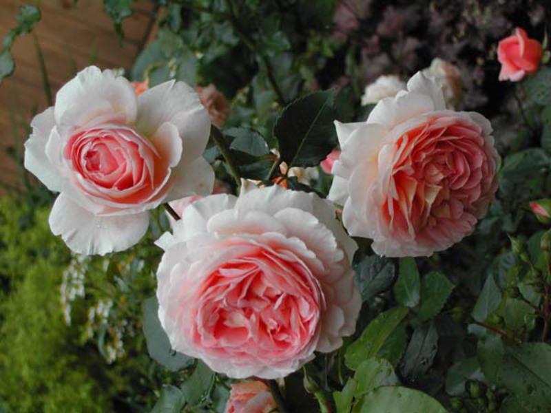 Следобеден чай и грижа за розата