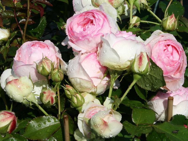 Засаждане и грижа за розите