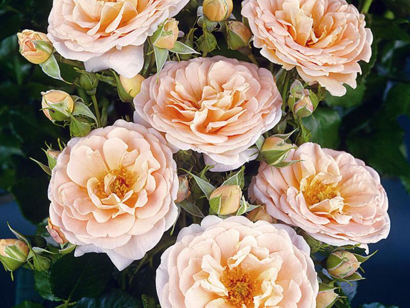 Розови сортове