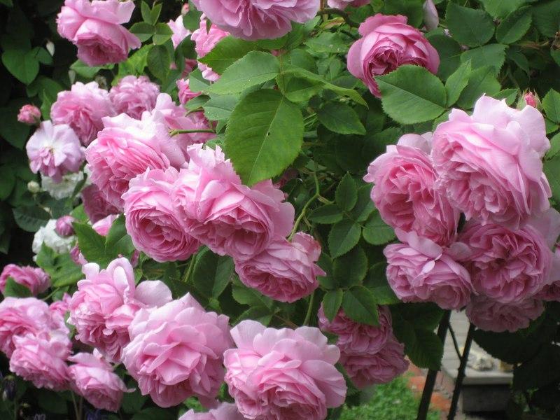 Засаждане на катерещи се рози