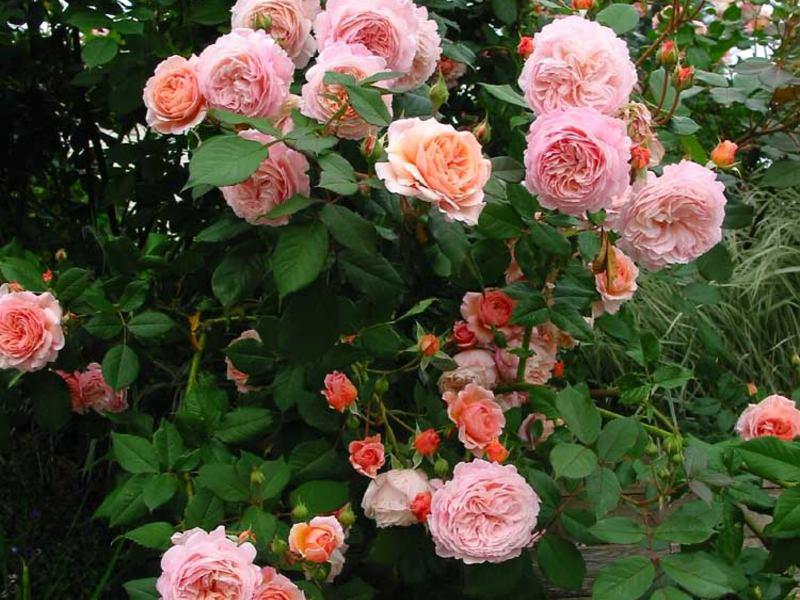 Как да изберем рози за сайта