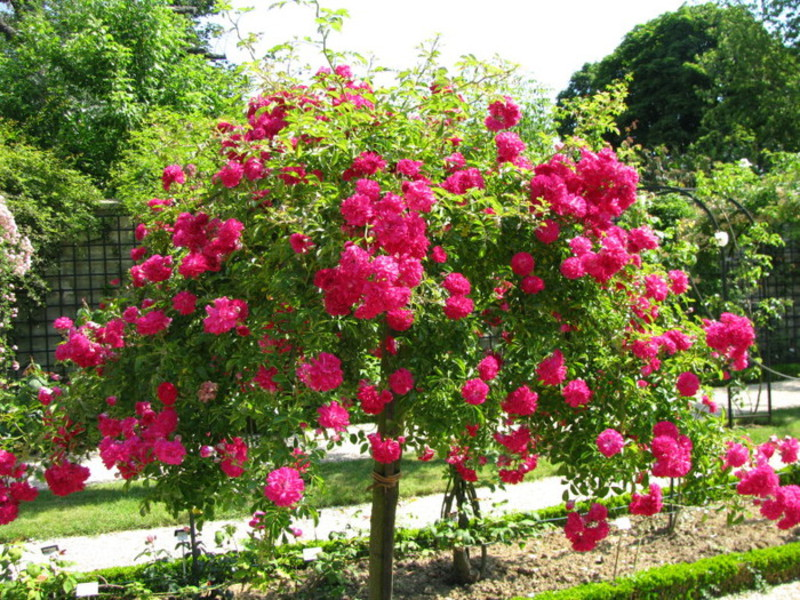 Как да отглеждаме роза за катерене