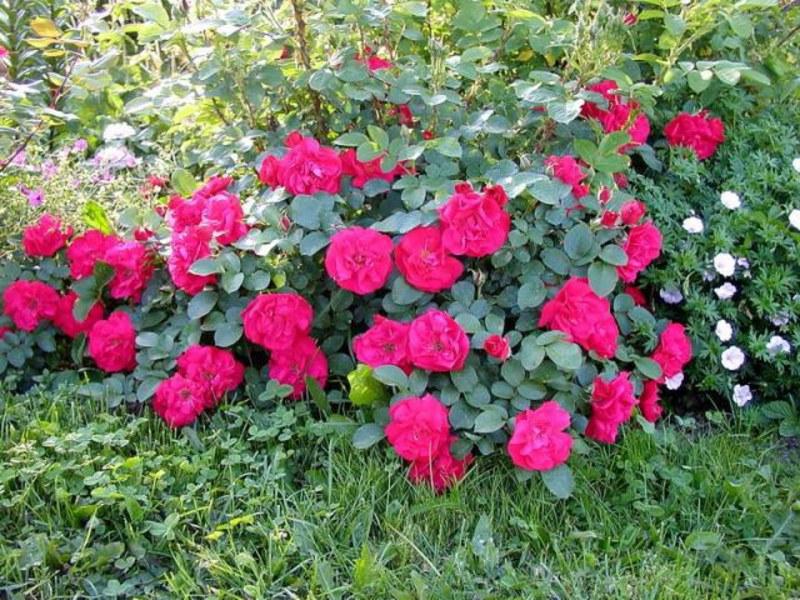 Розови сортове с имена