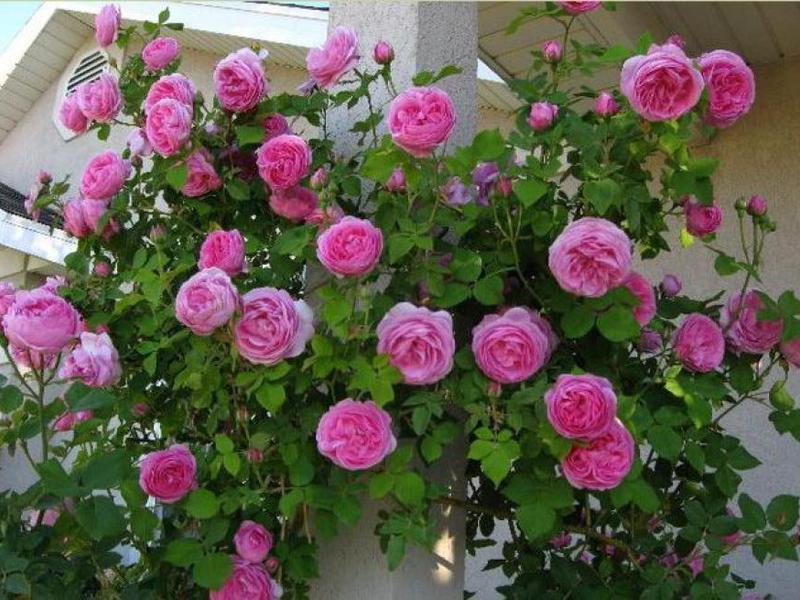 Сортове роза флорибунда