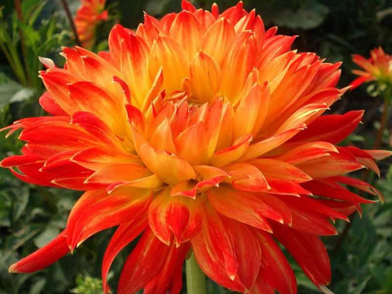 Името на красивото и обичано от мнозина цвете, далия