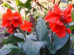 Кан - ярки красиви цветя