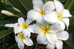 Plumeria - какви са тези цветя?