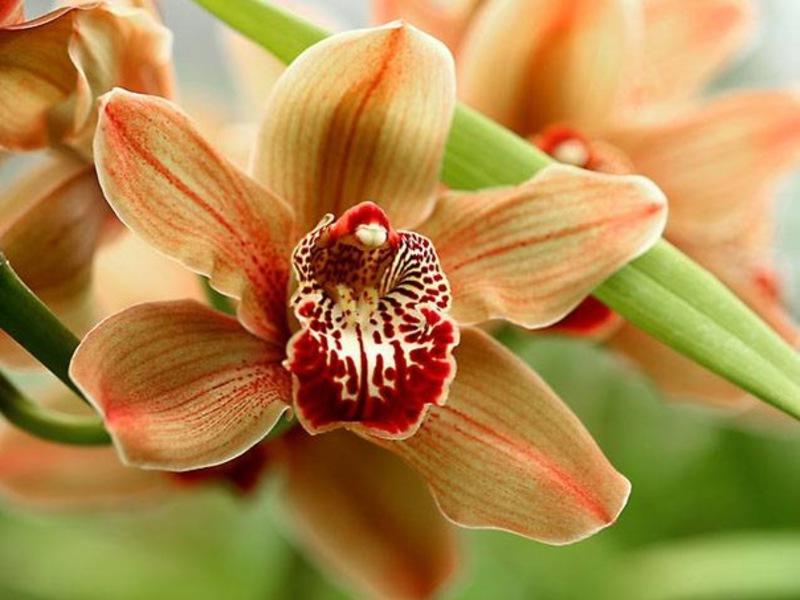 Как изглежда кралската орхидея?