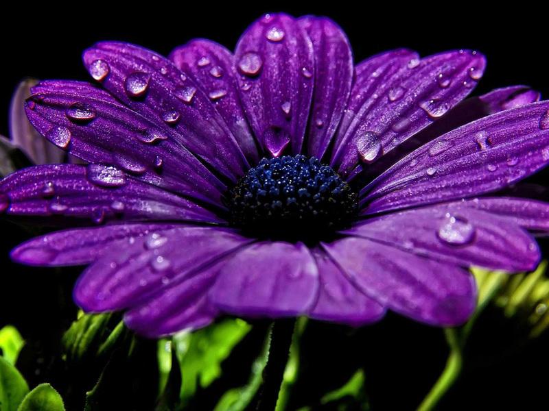 Лилавата диморфотека в разцвет е много красива