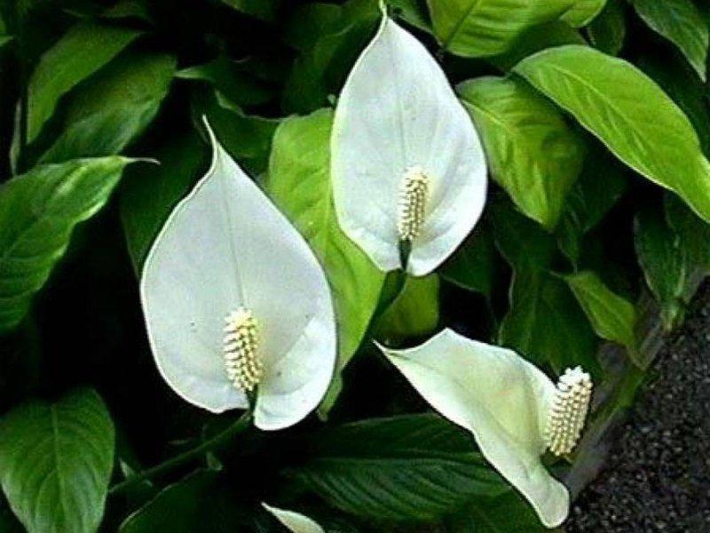 Какво обича цветето спатифилум