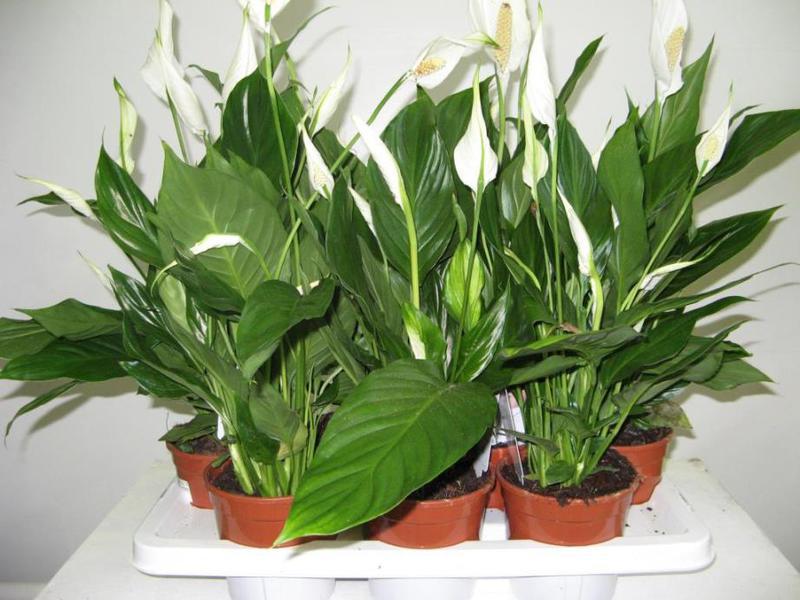 Правила за грижа за цвете Spathiphyllum