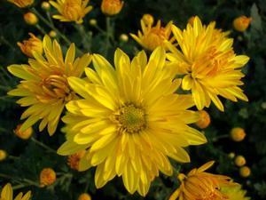 Какво означават жълтите хризантеми?