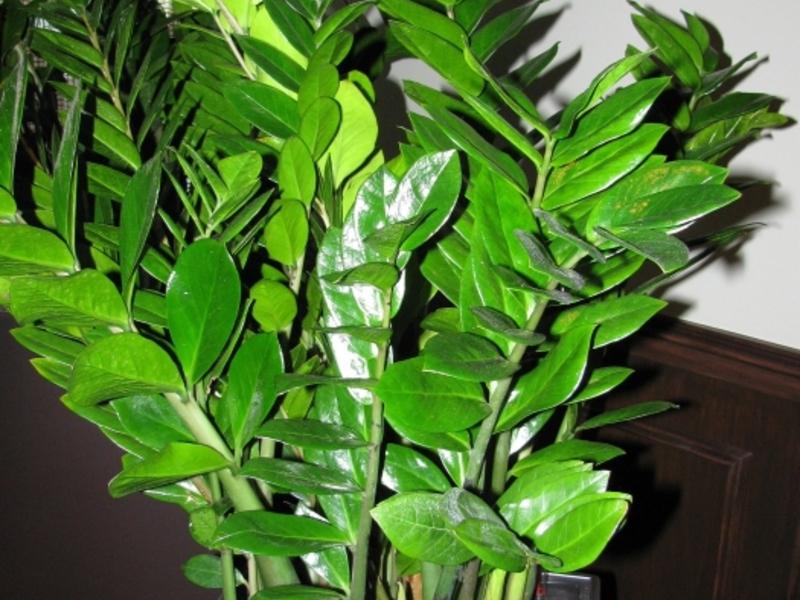 Замиокулкас растение