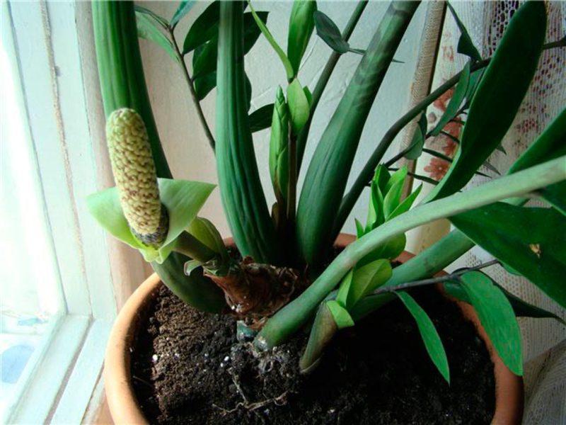 Име на растението