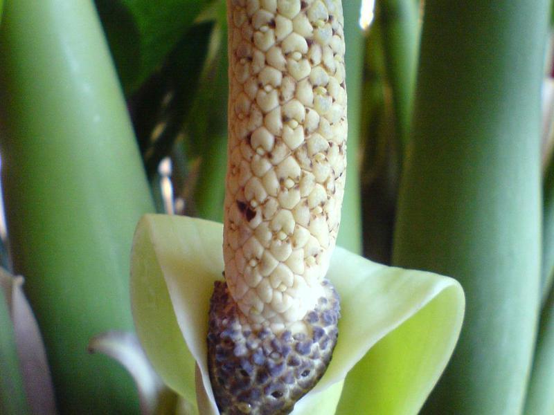 Появата на растението zamioculcas
