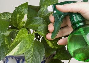 Бележка за производителя: как да се справим с бялата муха на стайни растения