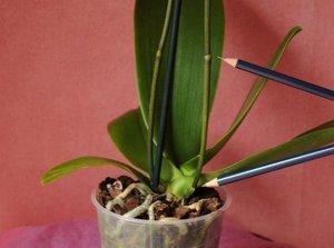 Характеристики на грижите за орхидеите