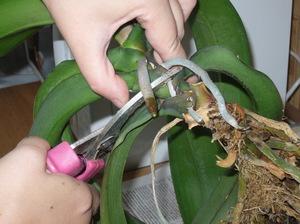 Как да трансплантирате орхидея у дома