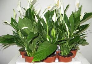 Спатифилум - грижи и размножаване у дома