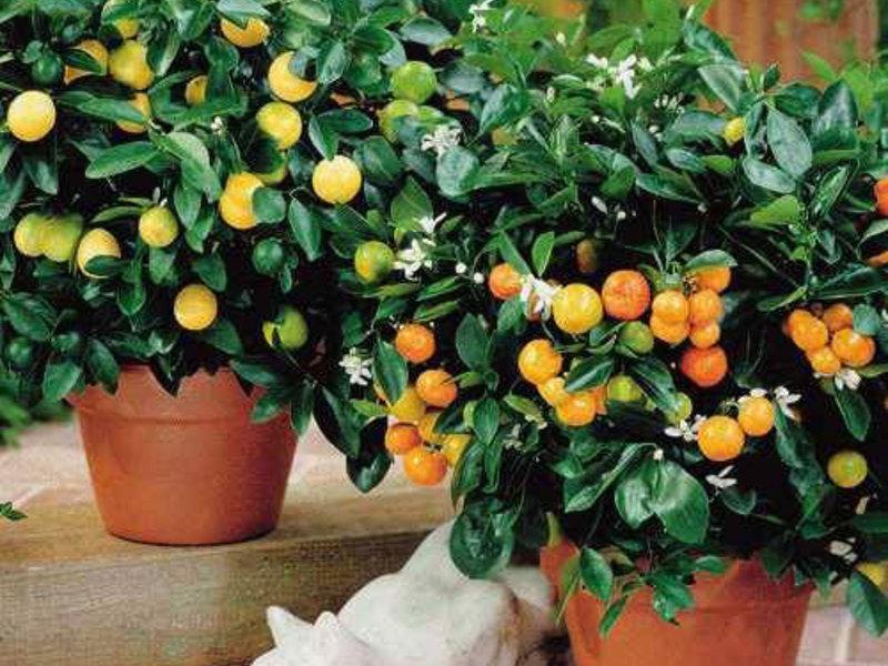 Плодните стайни растения - това е интересно