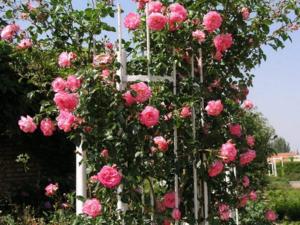 Зимоустойчиви сортове катерещи се рози, които цъфтят през цялото лято